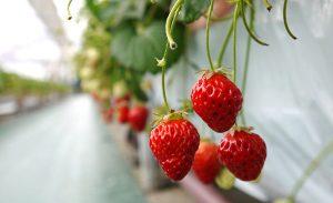 〈潟上市〉完熟イチゴを摘み取って味わえる「フルーツパークDETO」